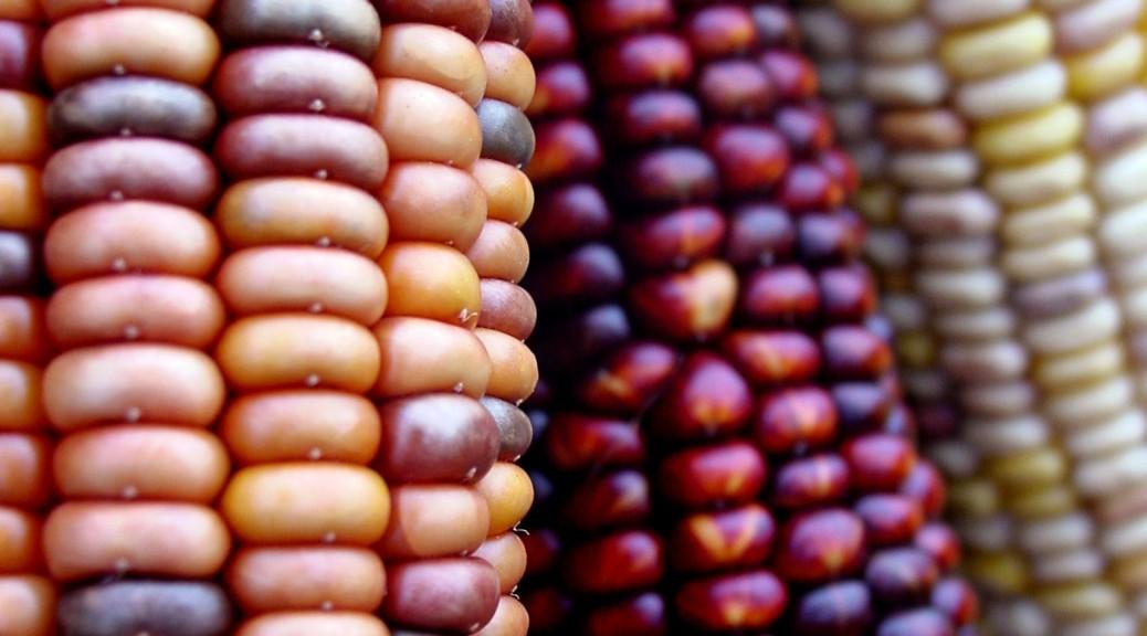 Épis de maïs de couleurs.